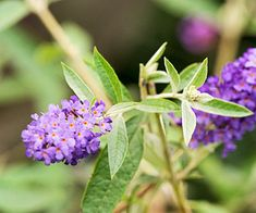 'Adonis Blue' butterfly bush Buddleja davidii 'Adonis Blue' is a dwarf selection with big clusters of dark purple blooms all summer long. It grows 5 feet tall and wide. Zones 5-9 Butterfly bush - Plant Encyclopedia - BHG.com