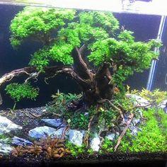 Aquascape tree scape by Didin Uka Uka. Pin by Aqua Poolkoh