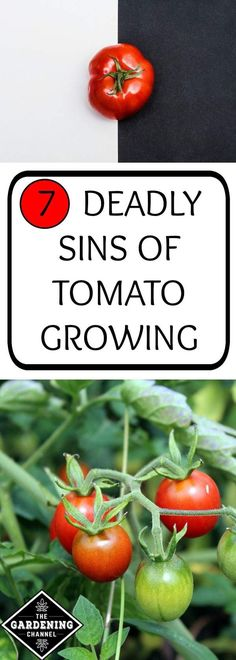 Growing Tomatoes 7 deadly sins of tomato growing. Be sure not to make these mistakes when you grow tomatoes in your vegetable garden and your plants will be healthier and more fruitful. Growing Tomatoes Indoors, Tips For Growing Tomatoes, Growing Tomato Plants, Tomato Seedlings, Growing Tomatoes In Containers, How To Grow Tomatoes, Growing Cherry Tomatoes, Dried Tomatoes, Tomato Pruning