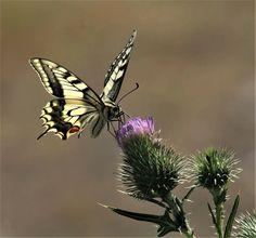 Koninginnenpage,  8-7-2017 Foto en tekst: Frans van Neer Cute Butterfly, Beautiful Butterflies, Insects, Bee, Animals, Honey Bees, Animales, Animaux, Bees