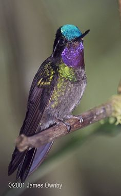 Purple throated Mountain-Gem hummingbird should have been invited to lunch today. Happy birthday Ian.