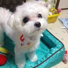 Maltese puppy cut love it