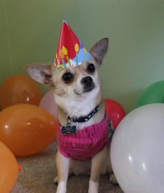 23 Birthday Dogs at Their Parties - Dogs Tips & Advice 23rd Birthday, Happy Birthday Sister, Dog Birthday, Birthday Wishes, Birthday Memes, Birthday Parties, Happy Dog Meme, Happy Dogs, Teacup Chihuahua