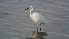 Little Egret (10838459345) - Categorie: garzetta - Wikimedia Commons