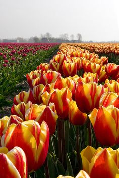 Red and yellow Tulips, L your whole family is together today. Yellow Tulips, Tulips Flowers, Daffodils, Pretty Flowers, Spring Flowers, Tulip Fields, Spring Bulbs, Amazing Flowers, Trees To Plant