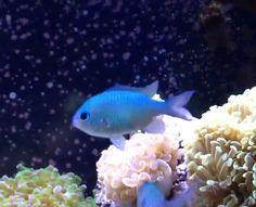 Saltwater tank on pinterest reef aquarium saltwater for Beginner saltwater fish