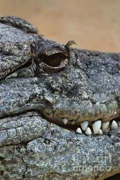 Crocodile....he sure has white teeth!