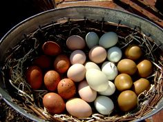 Collecting chicken eggs - I love it, I don't know why, I just do and always have.
