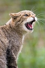 Scottish Wildcat   da ankehuber