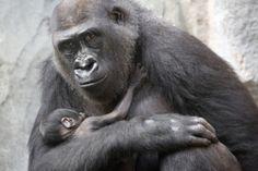 Gorilla-Baby im Frankfurter Zoo geboren