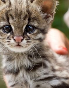 Oncilla kitten. The oncilla is a close relative of the ocelot and the margay, and has a rich ochre coat, spotted with black rosettes.