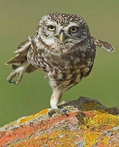 Búho haciendo equilibrio♡♡♡