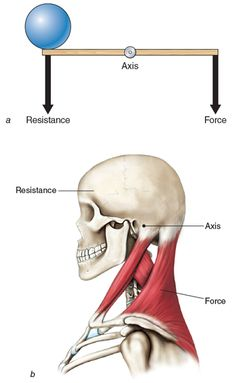 Bones, ligaments, and muscles are the structures that form levers in the body to create human movement. In simple terms, a joint (where two or more bones join together) forms the axis (or fulcrum), and the muscles crossing the joint apply the force to move a weight or resistance.
