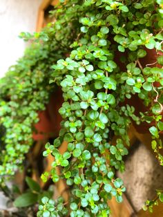 Hanging Plants, Indoor Plants, Jade Plants, Cactus Y Suculentas, Autumn Garden, Desert Rose, Cacti And Succulents, Houseplants, Planting Flowers