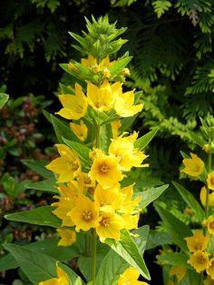 Goldfelberich-Blüte (bot. Lysimachia punctata) in unserem Garten im Juni 2018 ... die Blüten und Blätter sind essbar, schmecken im Salat oder im Kräuterquark