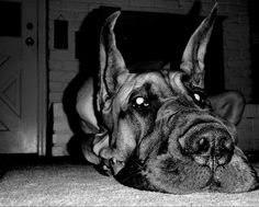 Great Danes <3 <-- type of dog i want to own