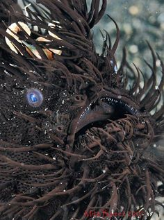 Wild! Hairy Frogfish (black morph) (Antennarius striatus)  By: Mike Bartick