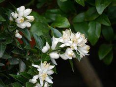 Edles Laub und reinweiße, herrlich duftende Blüten - das ist der Chinotto, eine echte Zitrus Rarität