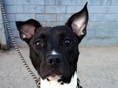 TO BE DESTROYED-10/13/13 Brklyn Center HERA~ID#A0974960 FEMALE, blk/wht pit bull mix,2 yrs*A private donor has offered to pay $400 to the New Hope partner that pulls HERA*STRAY 8/12/13.This pup is shutting down in the chaos & stress of the shelter. Her friendly nature, has turned to fear & barking.Staff who spend time with her note that, while anxious around strangers & dogs, she wants human interaction.Hera needs an experienced adopter/foster willing to work on training/helping her trust…