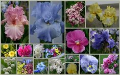 """Delivery July//August TALL BEARDED IRIS GERMANICA /""""A NEW BEGINNING/"""" Rhizome"""