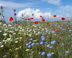 Daisy, Poppies, linen ... Marguerites, coquelicots, lin ...