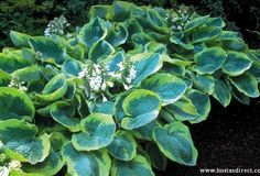 he classic lady Hosta 'Frances Williams'!  'Frances Williams' has been presiding over shady gardens since 1986. Its leaves add a bold contrast of blue-green with wide yellow margins, and it's large size (18 inches tall, but it can spread out to almost 4 feet!) makes it a substantial addition to a planting. It's color and size add a lot of 'wow' to a shady garden!