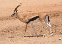 Mountain Gazelle (Gazella gazella)