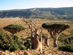Dragon's Blood tree and Adenium - Desert Rose 57 Beautiful Islands, Beautiful Places, Dragon Blood Tree, Socotra, Different Plants, Rare Plants, Desert Rose, Wildlife Art, North Africa