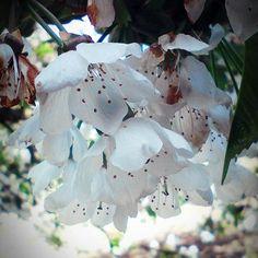 """Páči sa mi to: 15, komentáre: 1 – Klára Murinová (@clara_912) na Instagrame: """"#weekend #spring #cherry #tree #majlaskycas 💞"""""""