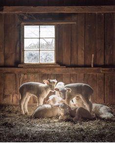 If you eat lamb, I'd categorise you as a psychopath. 🤮👍🏻 innocent little babies. Vegan Animals, Farm Animals, Animals And Pets, Cute Animals, Beautiful Creatures, Animals Beautiful, Sheep Art, Jesus Christus, Sheep And Lamb