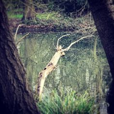 Stag tree in #batterseapark #london #instaphoto #instagood #stag