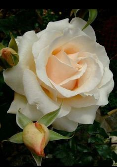 Captivating Why Rose Gardening Is So Addictive Ideas. Stupefying Why Rose Gardening Is So Addictive Ideas. Beautiful Roses, Beautiful Gardens, White Roses, Pink Roses, Marguerite Rose, Rosa Rose, Coming Up Roses, Hybrid Tea Roses, Pretty Flowers