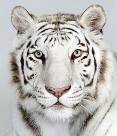 Bengal tigers: Samasta, a 2 year old female, Royal White Bengal Tiger