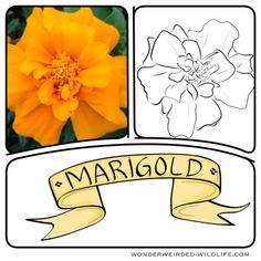 Marigold Pictures, Calendula Flower Pictures Collection of Orange Flower Images for our 100 beautiful flowers Photograph Gallery,different types of marigold, french marigold to indian marigold
