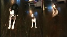 This Boston Terrier is Learning How to Stay Still but it Looks like it's Difficult for him! Watch ► http://www.bterrier.com/?p=27794 - https://www.facebook.com/bterrierdogs