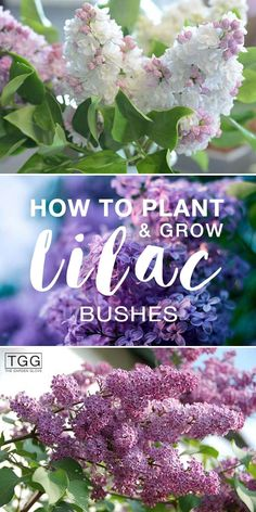 How To Plant & Grow Lilac Bushes! – Learn all about planting lilac bushes, how t… How To Plant & Grow Lilac Bushes! – Learn all about planting lilac bushes, how to care for them, when to prune them, and our favorite lilac varieties. Garden Care, Gardening For Beginners, Gardening Tips, Organic Gardening, Balcony Gardening, Texas Gardening, Gardening Services, Gardening Books, Vegetable Garden