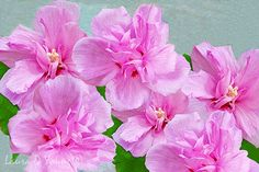 Rose of Sharon Pink Flower Blossoms Flower Art by FineArtography