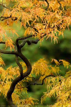 ~~Acer Autumn ~ Acer tree in the fall by *thrumyeye~~