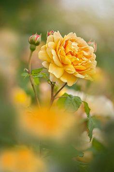 Beautiful yellow rose https://www.pinterest.com/pin/461056080579984699/