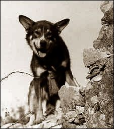 This is Chips.  He is a military dog.  In the invasion of 1943, Chips and his handler were pinned down by machine gun fire.  Chips broke free and attacked the enemy gunmen, pinning them and eventually forcing their surrender to America troops.  Chips was awarded       the Silver Star and Purple Heart, although later rescinded because, at the time, dogs couldn't receive those awards.