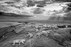 群れの休息、アフリカライオン