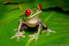 Rod-eyed Tree Frog, copyright Will Burrard-Lucas. Another beautiful frog from Costa Rica… this is a red-eye tree frog. At night they feed on crickets, moths and other insects. Their red eyes may seem conspicuous, but when these frogs press themselves against a leaf and shut their eyes, they become very hard to spot! I found this one by homing in on its croaks!