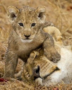 This photo was taken at Camp Jabulani in greater Kapama Private Game Reserve in Limpopo. They have a trained herd of elephants and I was sitting watching them interact with. Cute Baby Cats, Cute Baby Animals, Animals And Pets, Animal Babies, Wild Animals, Lion Love, Fauna, Wildlife Photography, Cutest Animals