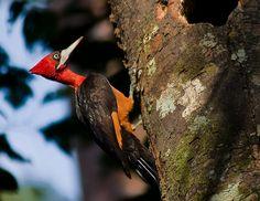 Red-necked Woodpecker(Campephilus rubricollis)