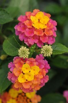 "Lantana -""Landmark Sunrise Rose"" - It starts yellow, then matures to coral and then to pink! Love Lantanas....."