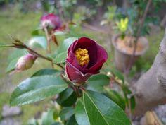 """camellia  """"Kon Wabisuke"""""""