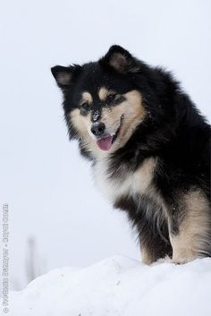 finnish Lapphund photo | Finnish Lapphund | Dogs