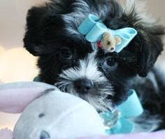 Stephanie the Teacup Shih Tzu Puppy For Sale #teacup #shihtzu #puppy #dog #forsale #sale