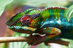 The Chameleon represents the coming of death.