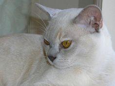 Burmese Cat    from Shepbrae website.